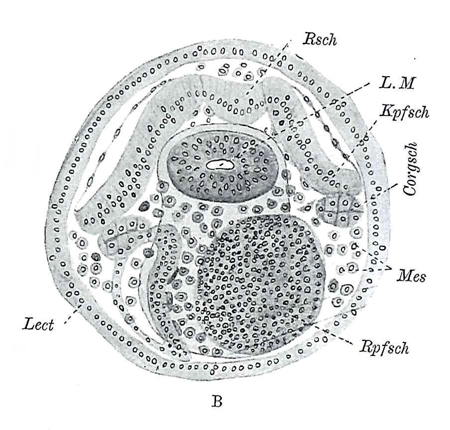 Ilustração da larva de Schmidt por