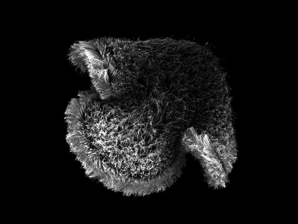Pilidium larva of a nemertean