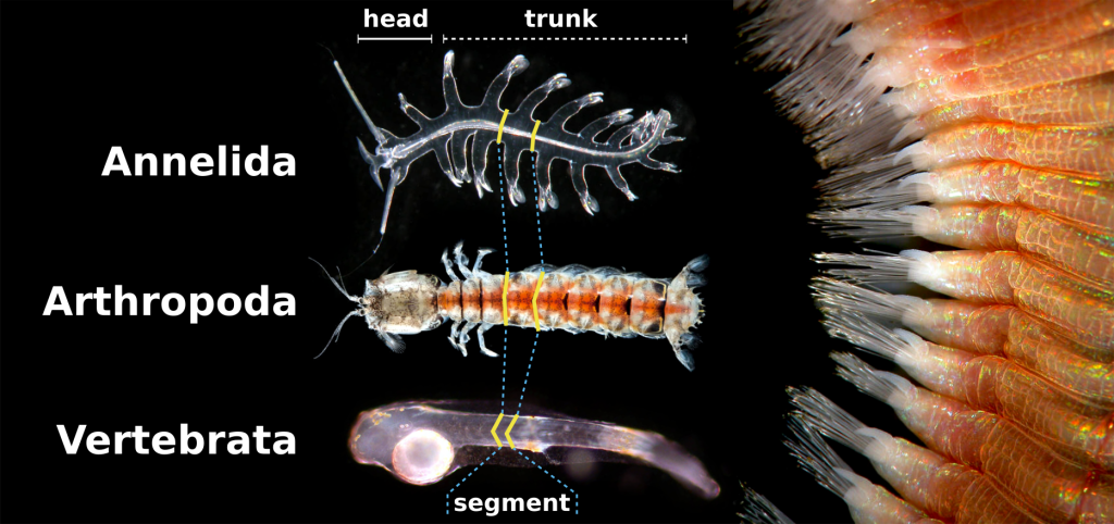 Taxa with a segmented trunk. Annelida: the holoplanktonik polychaete Tomopteris sp., Arthropoda: a mantis shrimp (Stomatopoda), Vertebrata: a Teleostei fish larva. Yellow lines mark the anterior and posterior boundary of one segment. Image on the right is a closeup of the ectodermal segmentation of the fire worm Eurythoe complanata. Images not to scale. Photos by Alvaro E. Migotto (Migotto and Vellutini, 2011).