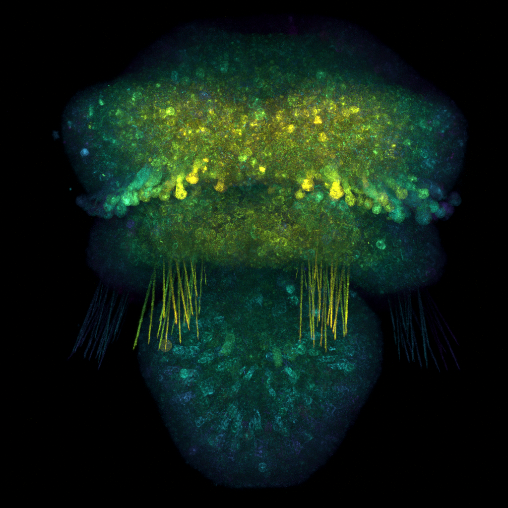 Larva de um braquiópode Terebratalia transversa sob microscopia confocal.