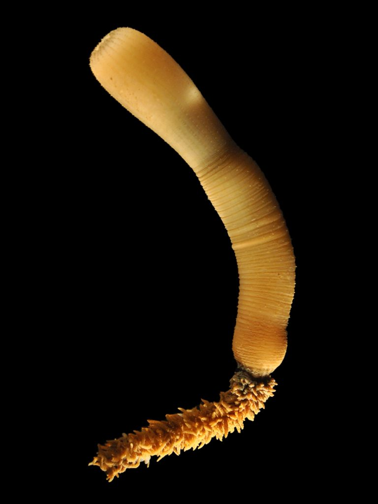 The penis worm (Priapulida).