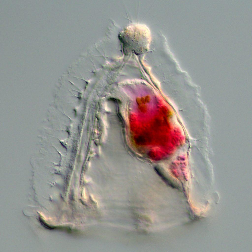 Cyphonautes larva of the bryozoan Membranipora membranacea.