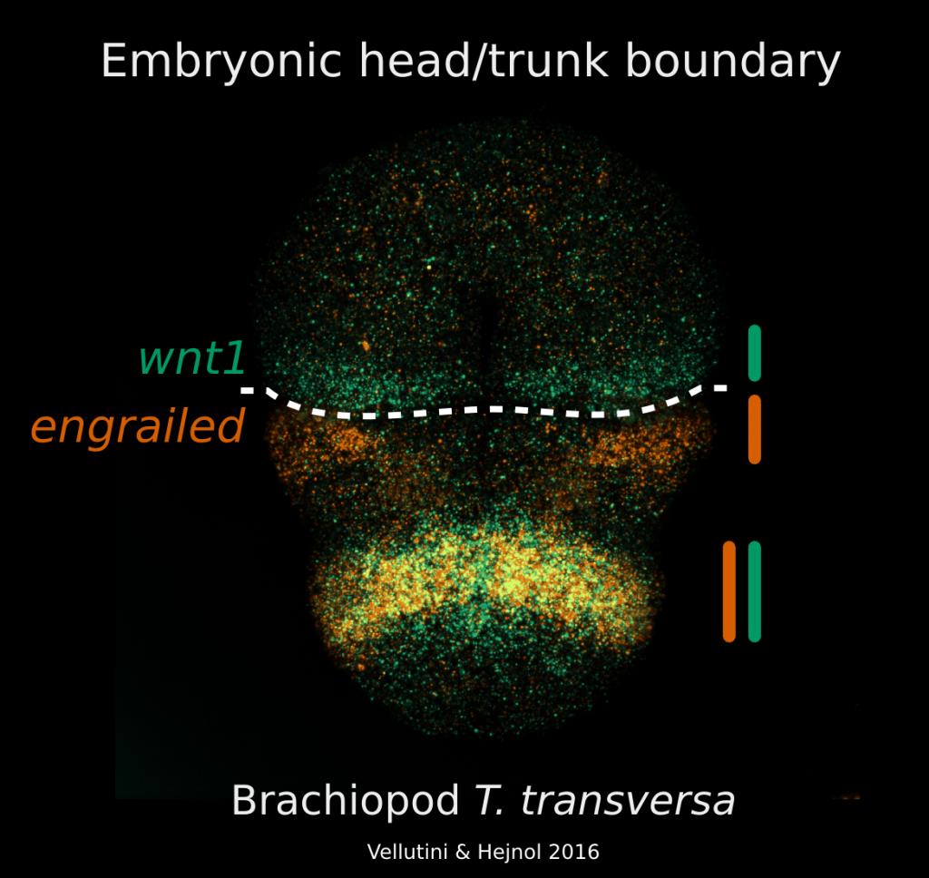 Brachiopod segment polarity and the head-trunk boundary.