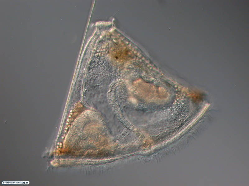 Cyphonautes larva collected from the plankton.