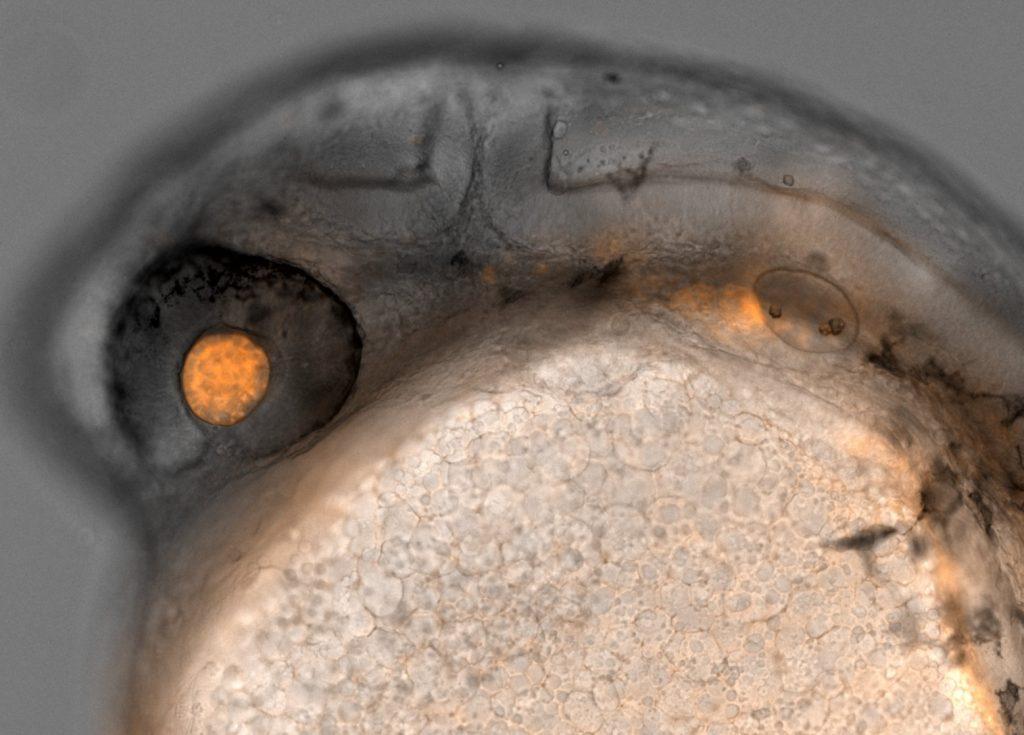Zebrafish laser eyes